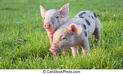 Two little pigs