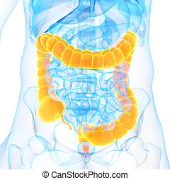 the colon - medical 3d illustration of the colon