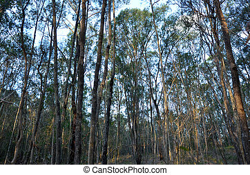 Eucalypt forest in Queensland Australia - Landscape of...