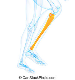 the tibia - medical 3d illustration of the tibia
