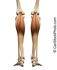 the gastrocnemius - muscle anatomy - the gastrocnemius
