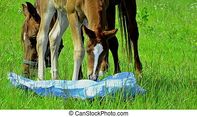arabian horses mare and foal