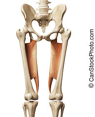 the abductor magnus - muscle anatomy - the abductor magnus