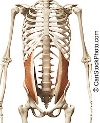 the internal oblique - muscle anatomy - the internal oblique...