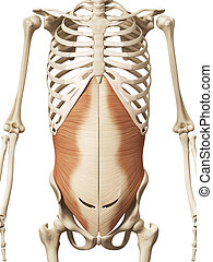 the transversus abdomini - muscle anatomy - the transversus...