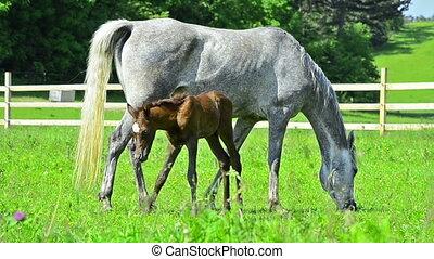 arabian horses mare and foal