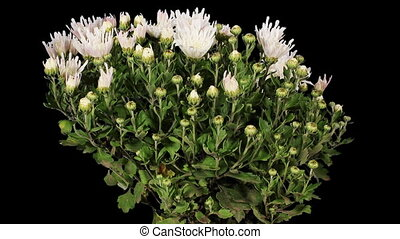 Blooming white chrysanthemum flower buds ALPHA matte, Full...