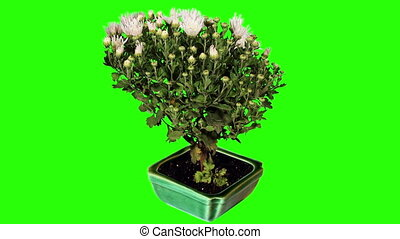 Blooming white chrysanthemum flower buds green screen, Full...