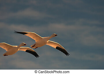 Snow Geese Flying - Beautiful, well-nourished snow geese...