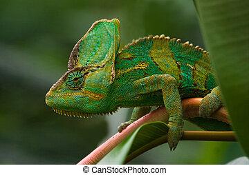 Green Jemenchameleon - Beaitiful green Jemen chameleon...