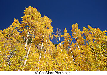 yellow aspen tree from colorado