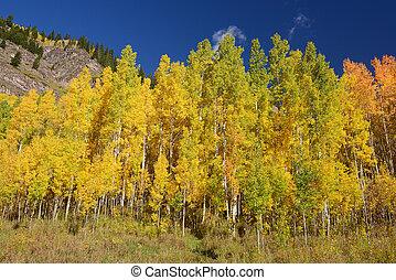 yellow aspen tree from colorado