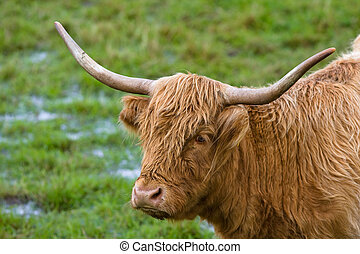 Highland cattle - Portrait of a highland cattle in a...