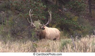 Bull Elk in Rut Bugling - a bull elk bugling in the rut