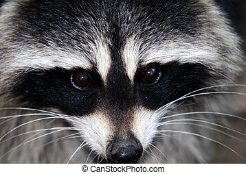 Raccoon - Close-up portrait of a wild raccoon on a sunny day