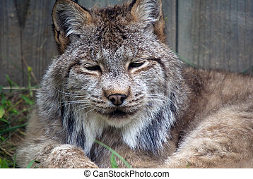 Lynx - Closeup picture of a Lynx or bobcat at rest