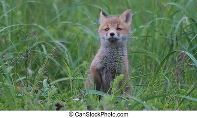 Red fox cubs cuddling. Summer.