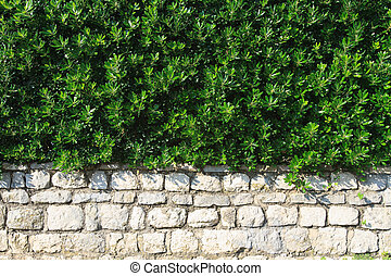 hedge evergreen shrub in the landscape design