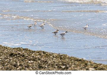 Sanderling, Calidris alba - Flock of Sanderling, Calidris...
