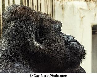 Western lowland gorilla portrait - Western lowland gorilla...