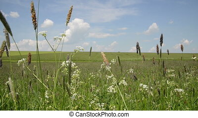 grass in meadow moving in wind