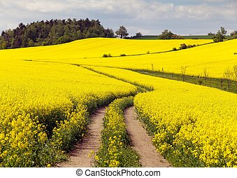 Field of rapeseed (brassica napus) - plant for green energy...