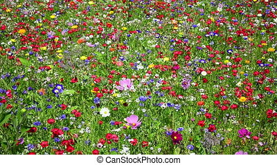 colorful wild flower meadow - blooming colorful wild flower...