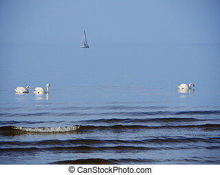 Swan family at the Baltic sea