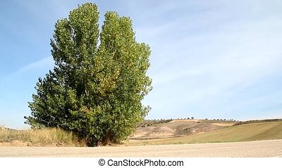 Tree - Leaves Blowing in a Lone Tree in the Country
