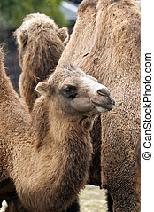 Bactrian camel - A closeup of the head of a young bactrian...