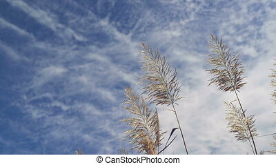 Dry reed plants on a sunny autumn day 1920x1080 full hd...