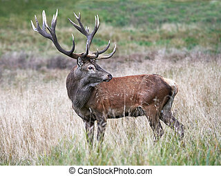 Red deer Cervus elaphus - Red deer standing in the grass in...