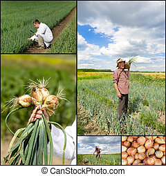 Onion collection - Collection of onion images in field and...