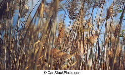 Dry reed plants on a sunny autumn day. 1920x1080 full hd...