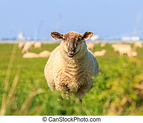 A droll ruminating sheep in the meadow