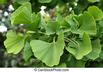 Ginkgo Biloba - Ginkgo biloba green leaves on a tree.