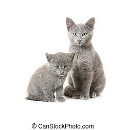 Gray cat and kitten - Cute gray kitten and adult cat on...