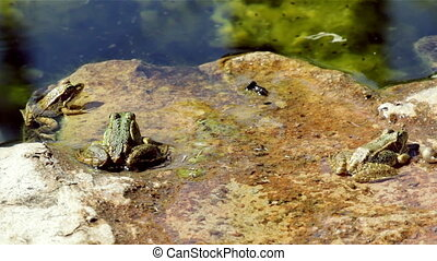 Pond Frog Jump H - Common frog, sitting in garden pond edge...