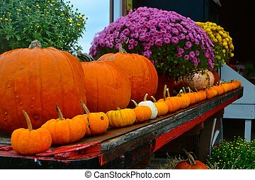 Fall display - Pumpkins in a row on a farm, a fall display
