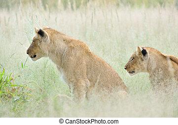 Lion cubs in the Kalahari