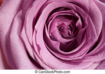 purple rose macro - macro view of purple rose