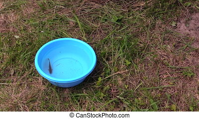 cat catch fish bowl - Cute tabby cat catch crucian fish from...