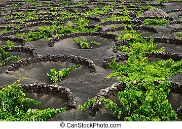 A vineyard on volcanic soil.