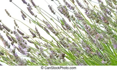Lavender Plants - video footage of Lavender plants