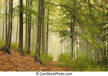 Misty autumn beech forest