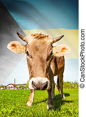 Cow with flag on background series - Bahamas