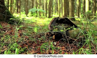 Large tree stump in summer forest.