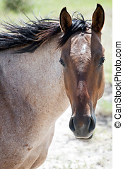 Roan horse - Headshot of a strawberry roan horse looking at...