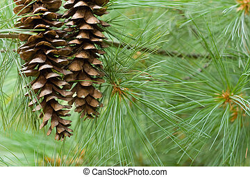 Pine Cones - Two pine cones with tree for seasonal...