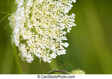 Queen Annes Lace - Close-up of Queen Anne\'s Lace (Daucus...